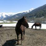 Koně v údolí řeky Rhôny
