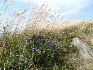 květy hořce tolitovitého na polonině