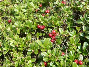 krásné červené brusinky