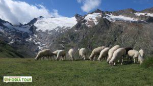 Ötztalské ovce