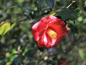 Kvetoucí kamélie