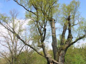 Nejmohutnější strom tachovského okresu