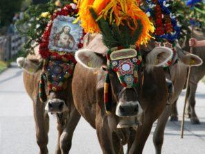 Slavnosti shánění krav