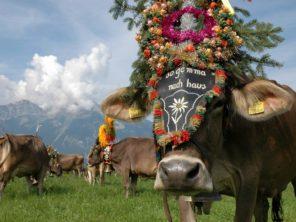 Svátečně vyzdovené krávy