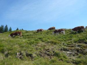 krávy při cestě