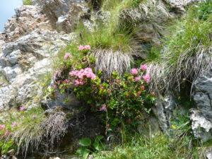 rododendrony (alpské růže) na úbočí hory